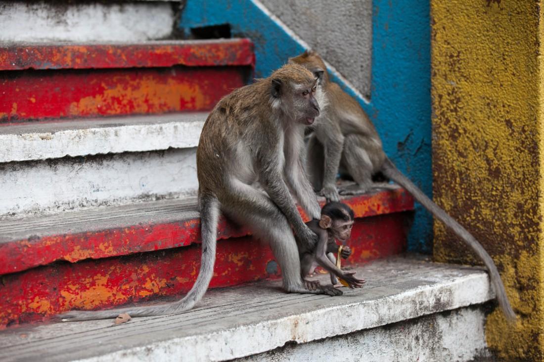 Die kleinen Makaken-Äffchen springen ohne Scheu die Treppen auf