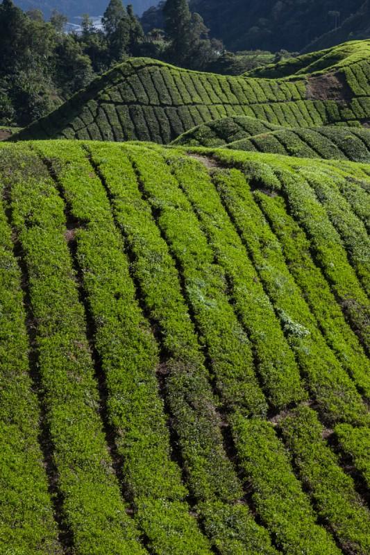 Linien in den Teeplantagen