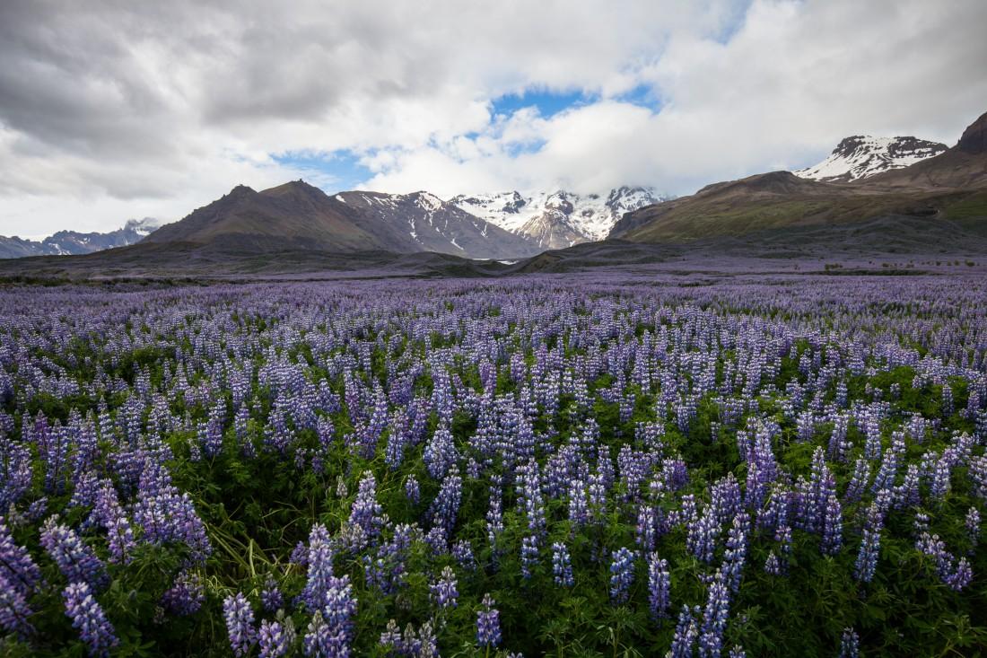 Alaska-Lupinen mit Berg Panorama