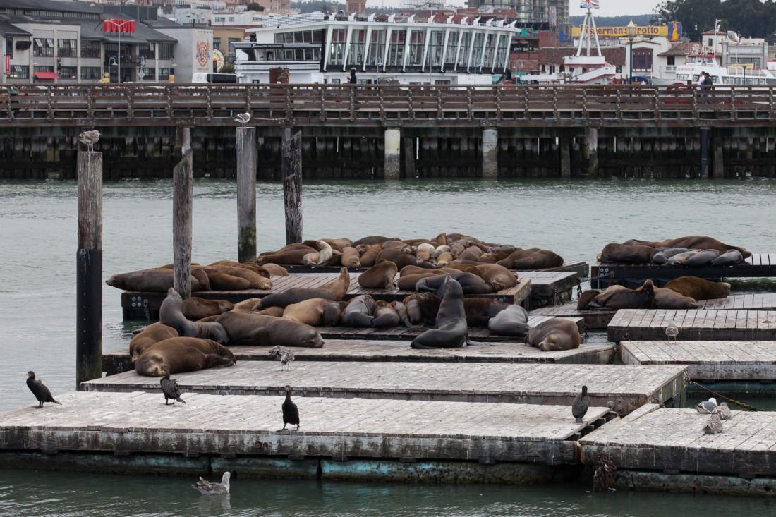 Robben am Pier 39