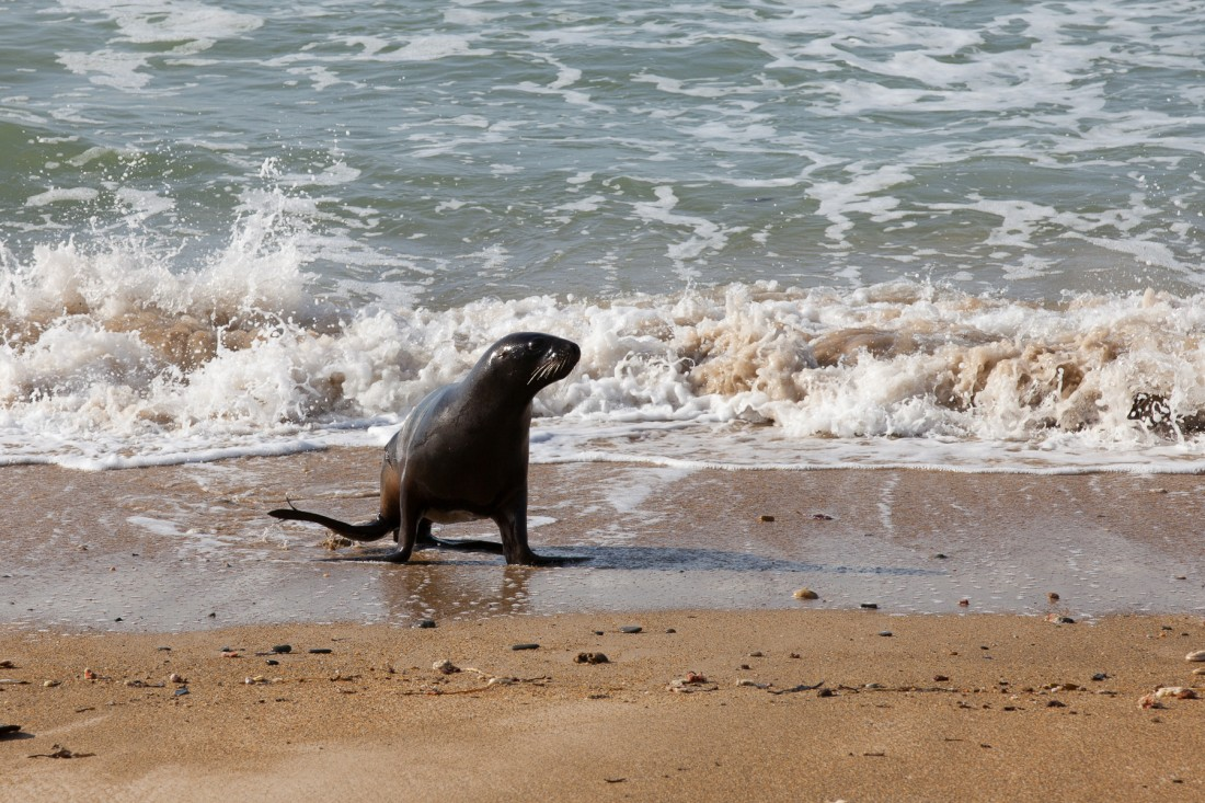 Seelöwin kommt vom schwimmen zurück am Waipapa Point