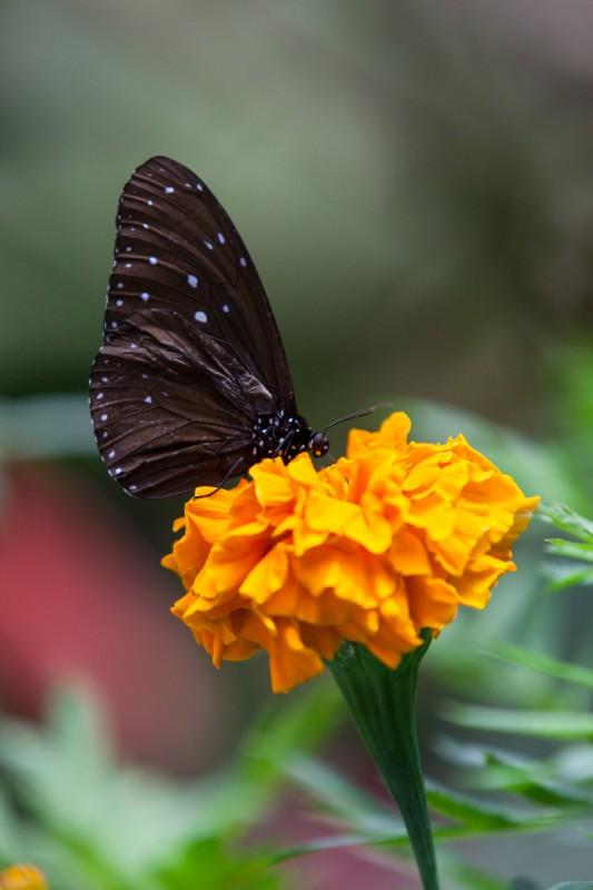 Schmetterling in der Butterfly-Farm