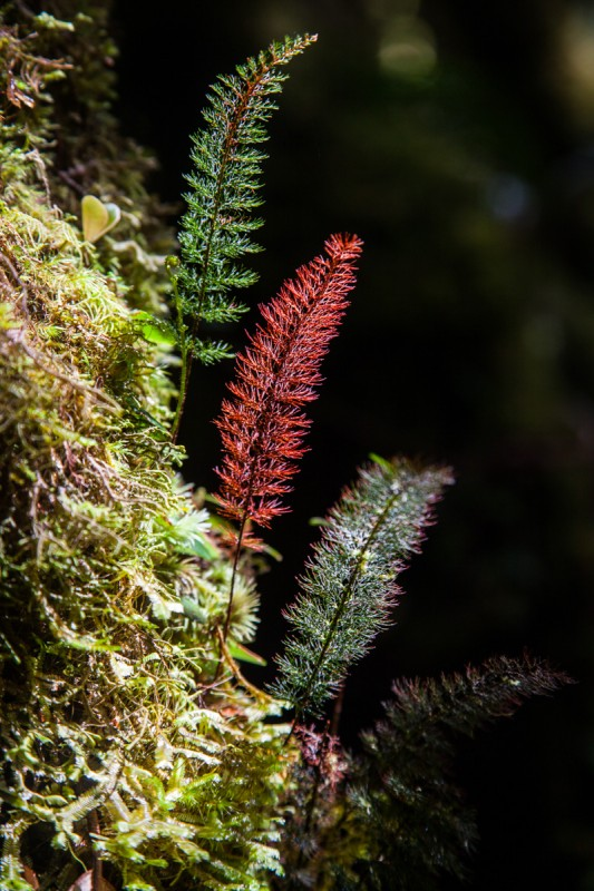 Farne im Mossy Forest