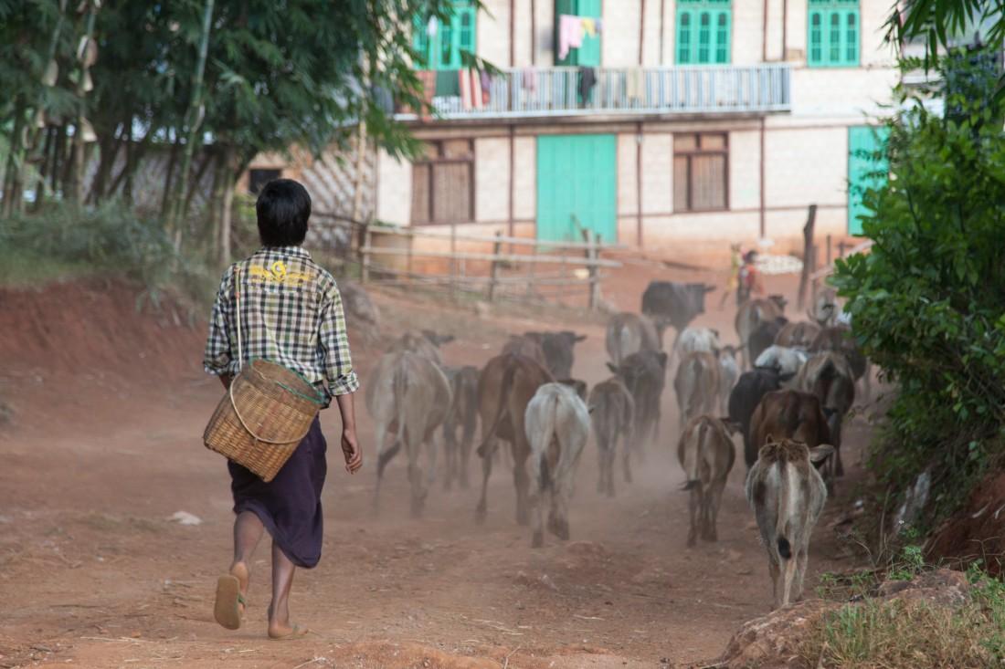 Eine Herde Rinder wird durch das Dorf getrieben.