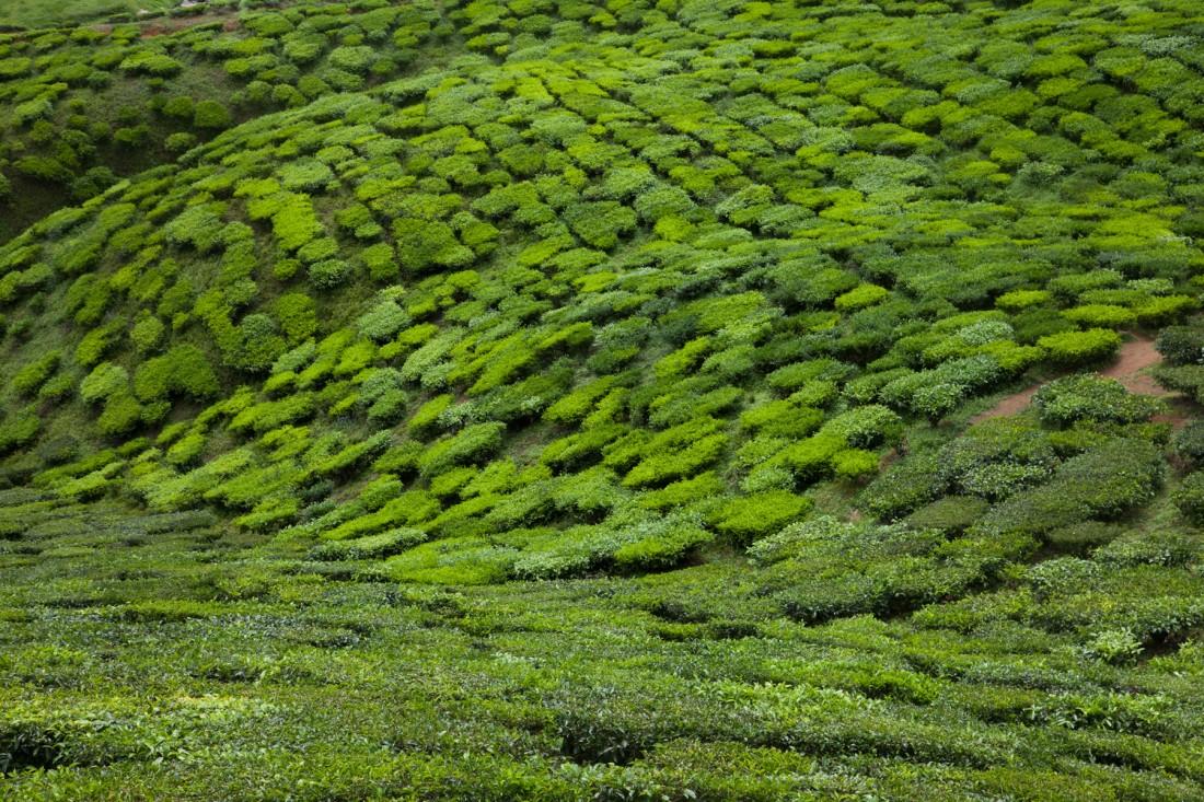 Die geschnittenen Büsche der Teeplantagen bilden beeindruckende